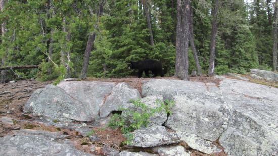 Kississing Lake Lodge: bear at lunch