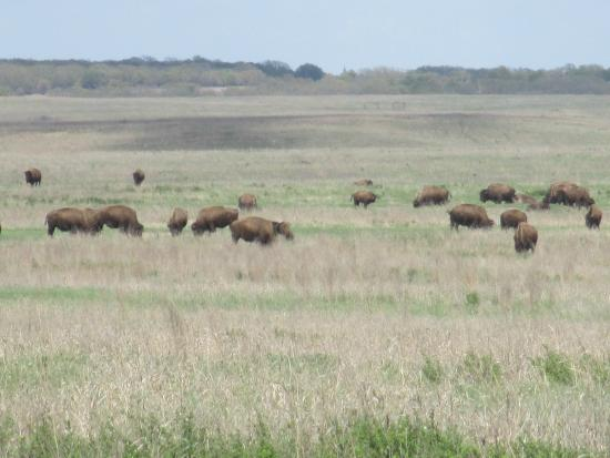 Tallgrass Prairie: Large herds are dispersed