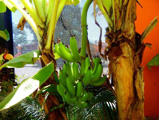 Petit Hotel Si Mi Capitan: Bananos en el pasillo