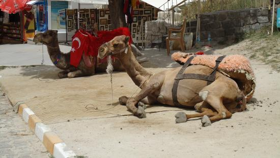 Falcon Cave Suites: You can even go on a camel ride nearby.