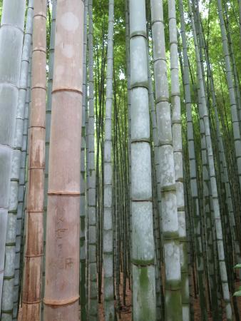 SaganoWalk & Bamboo Forest