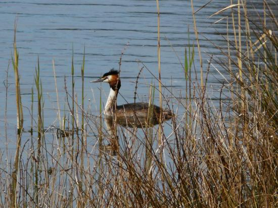 Lackford Lakes: Great Crested Grebe