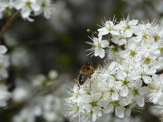 Lackford Lakes: Hoverfly species on Blackthorn blossom
