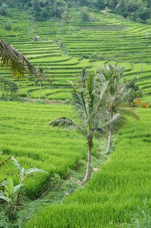 Padi Bali