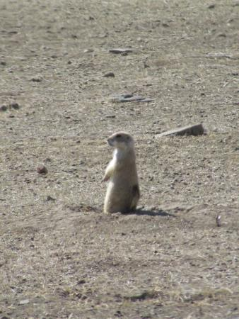Madison Buffalo Jump State Park: prarie dogs playing