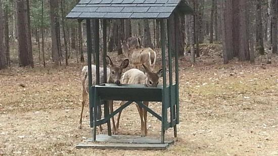 Auberge le Cosy Tremblant: Deer - feeding station