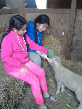 Stonehaven Family Farm: feeding the lambs