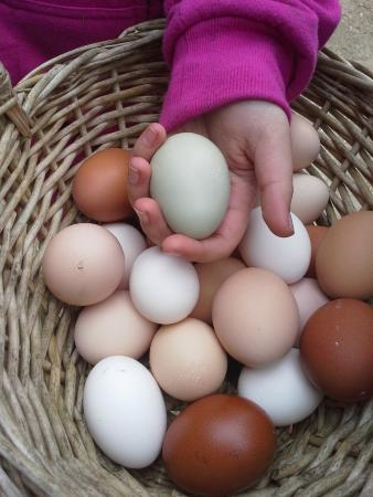 Stonehaven Family Farm: gathering delicious eggs