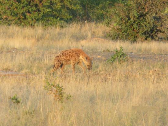 Tingala Lodge at Bed in the Bush: Game Drive Photo - Hyena