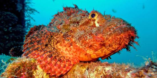 Scorpion Fish at Camia with White Beach divers, Boracay