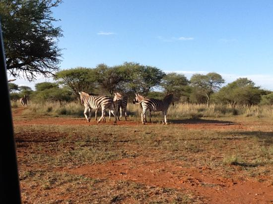 Sondela Nature Reserve Accommodation: Zebras in the veld.