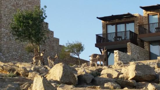 Beresheet Hotel by Isrotel Exclusive Collection: Ibex strolling on the hotel grounds