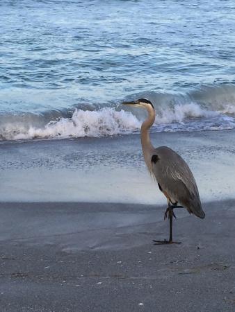 Turtle Crawl Inn Resort: A great blue heron in the morning.