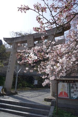Takakura Shrine : 鳥居と桜
