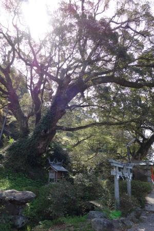Takakura Shrine : 境内の大樹