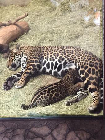 San Diego Zoo: Baby Jaguar