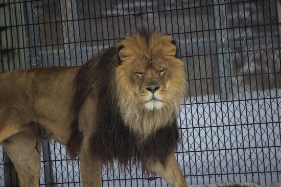 NEW Zoo & Adventure Park: Lion
