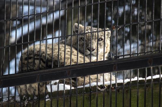 NEW Zoo & Adventure Park: Snow Leopard