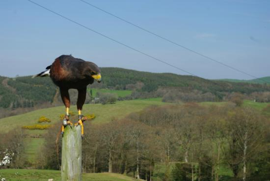 Falconry Experience Wales: Harris Hawk