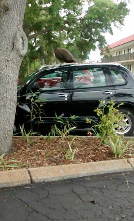 Days Inn Clearwater/Central: Peacock on someones car in the parking lot