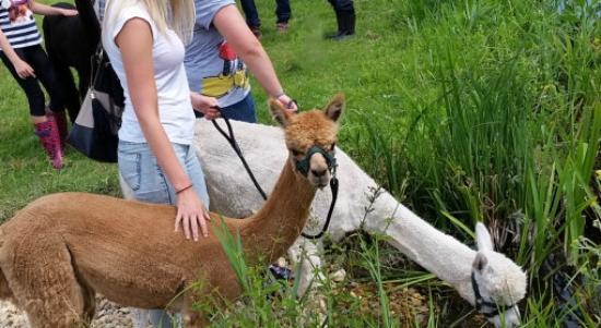 Eastleigh, UK: Meet an Alpaca