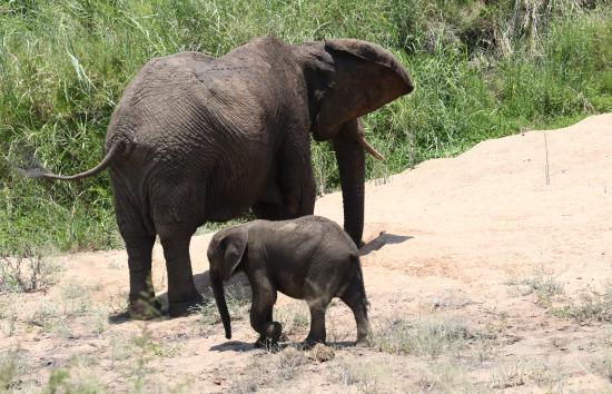 Elefanter i Krügerparken