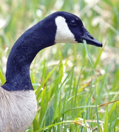 Lake Creek Lodge: A Canada Goose munches grass near the cabins