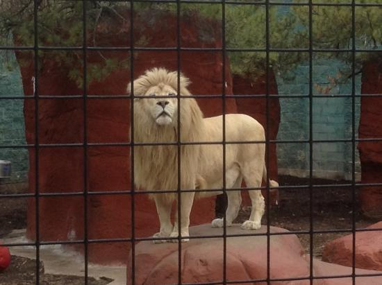 Attleboro, MA: This lion is definitely a leader