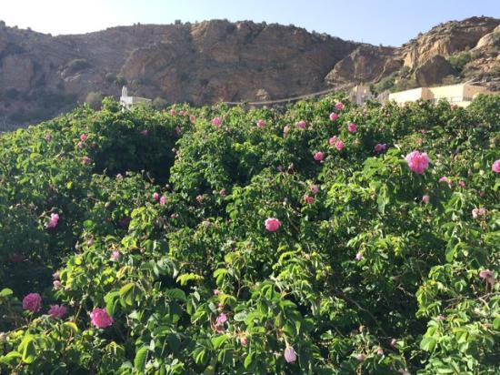Nizwa, Oman: Rose gardens