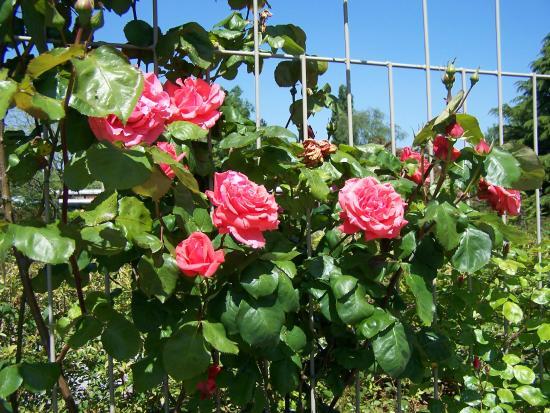Le Grand-Quevilly, Frankreich: Je vois la rose ainsi ' elle a sa couleur naturel!