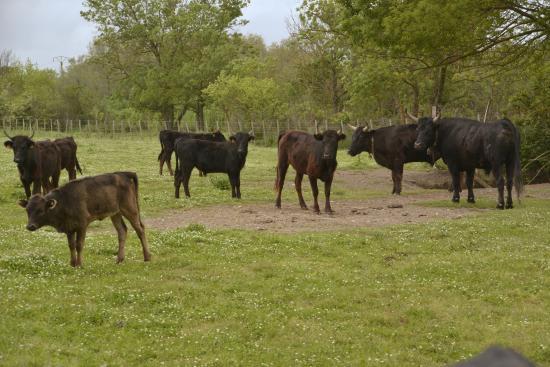 Camargue Sauvage safari 4x4 : Manade de taureaux