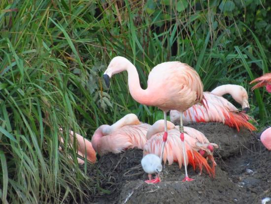 WWT Washington Wetland Centre: Flamingo