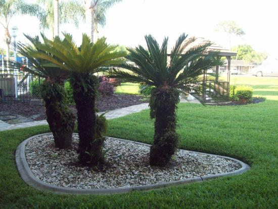 Magnuson Hotel Zephyrhills : Pretty palms in the courtyard