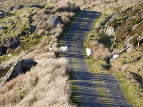 Knockboy and Priest's Leap : Sheep
