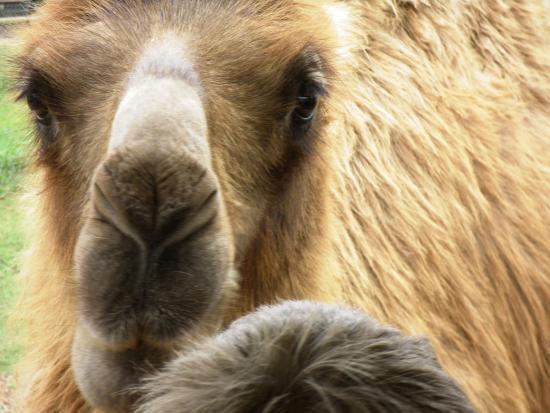 Exotic Resort Zoo : Friendly Camel