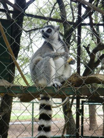 Exotic Resort Zoo : Lemur