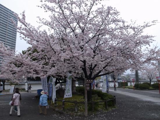 Okazaki Park: 桜はまだ若い木が多いようです