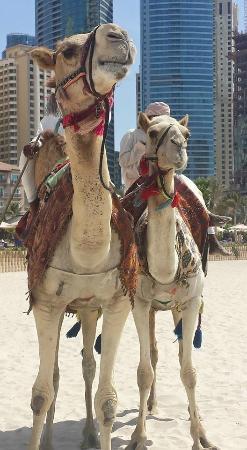 Grosvenor House Dubai: camels on the beach