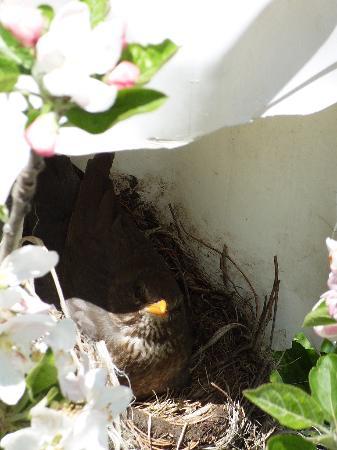 Pension Pernthaler: Amselnest in den Baumblüten