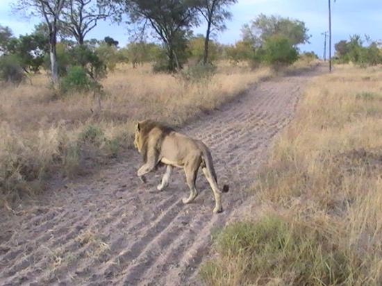 Notten's Bush Camp: One of the 3 brother lions we saw