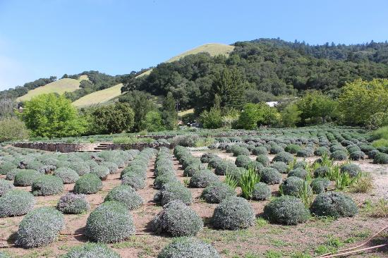 Matanzas Creek Winery : Lavender fields