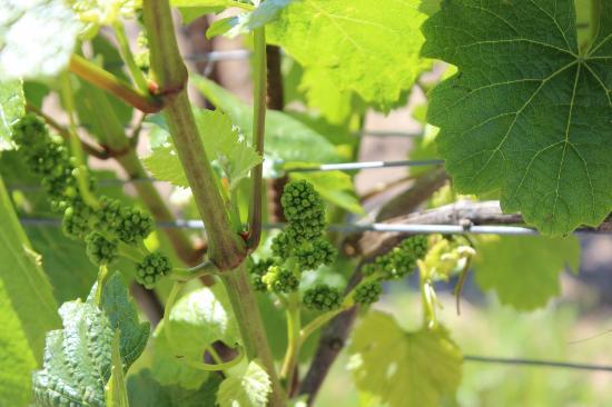 DeLoach Vineyards: Some pre-season grapes