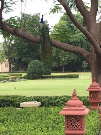 Rambagh Palace: BEautiful Peacock