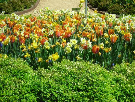 Ordinaire Paul J Ciener Botanical Garden: Tulips