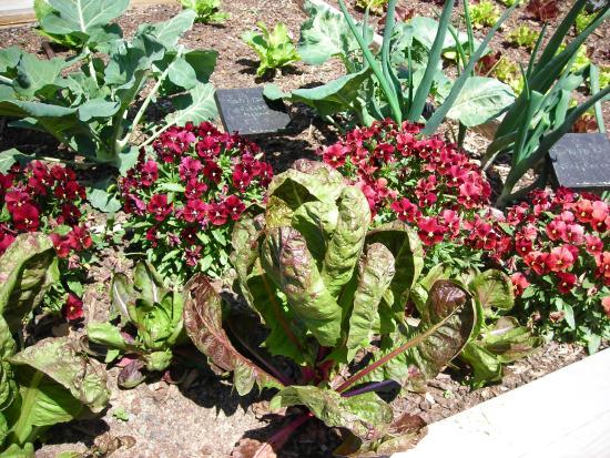 Paul J Ciener Botanical Garden: Cabbage from the veg garden