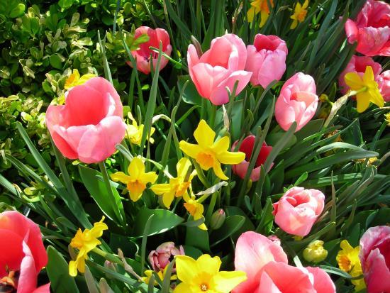 Paul J Ciener Botanical Garden: Tulips