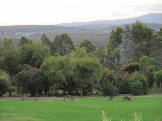 Mt Lindesay View Bed & Breakfast : Kangaroos on the lawn