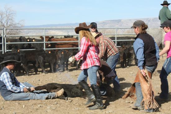 Schively Ranch: calf branding