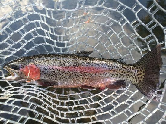 Searcy, Арканзас: Beautiful rainbow trout