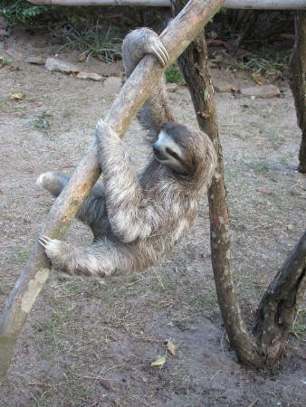 Casa Mariposa: One of the sloths!